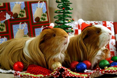 cavy christmas rescued guinea pigs mocha  carame flickr