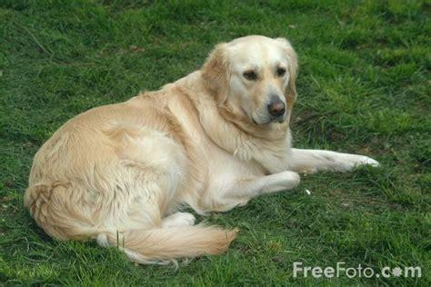 golden retriever puppies cost in delhi golden retriever price www proteckmachinery