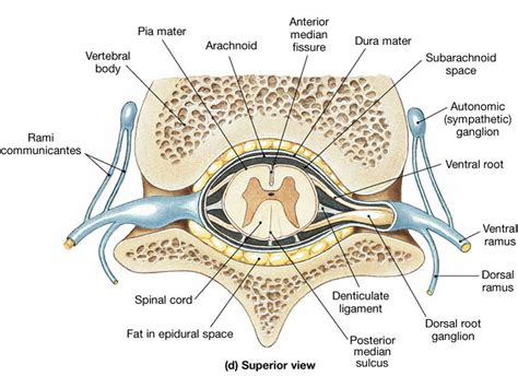 spinal cord spinal nerves and autonomic nervous system