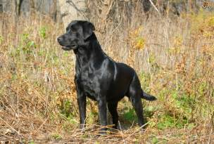 american color labs all about the labrador retriever pets4homes
