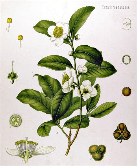 Camellia sinensis   Wikipedia, la enciclopedia libre