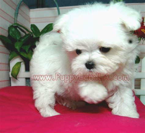 teacup yorkie maltese mix puppies for sale maltese and yorkie mix teacup www imgkid the image kid has it