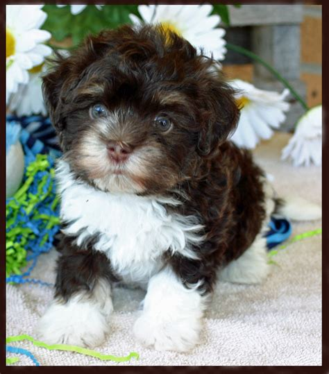 chocolate havanese puppies for sale havanese puppies havanese breeder puppy breeder in knoxville havanese puppies for
