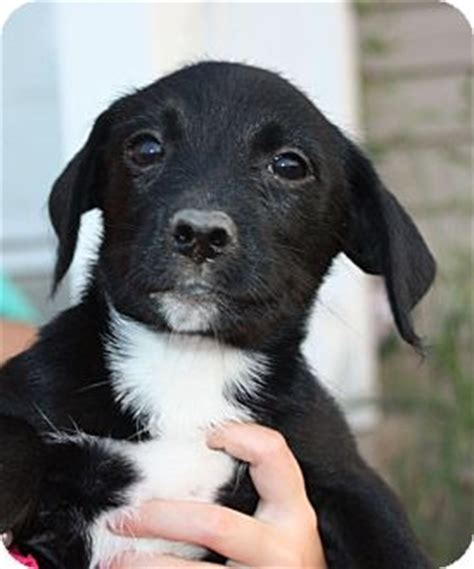 lab yorkie mix pending adopted puppy kennebunkport me labrador retriever yorkie