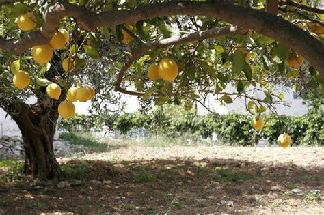 lemon tree  orchard stock image image  shade