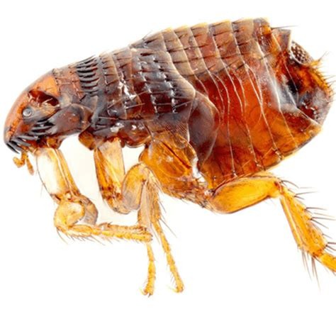 how to get rid of fleas on how to get rid of fleas how to get rid of stuff