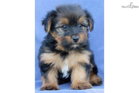 yorkie poo puppies for sale in illinois yorkiepoo yorkie poo puppy for sale near joplin missouri 148cdc8b 6ec1