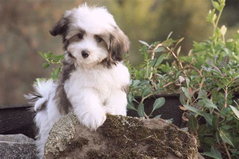 havanese do they shed dogs that don t shed 23 hypoallergenic breeds