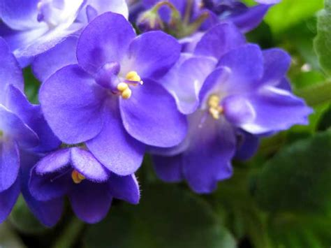 state flower of new jersey standard of the day violets for your furs