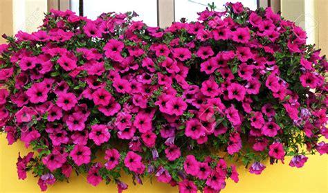 fiori da davanzale 5 piante perfette per un terrazzo al sole www donnaclick