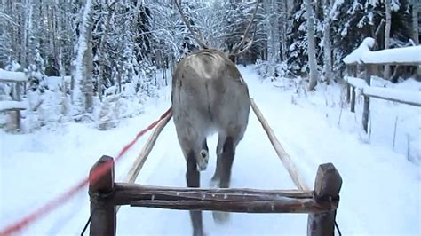 where to buy a sled and reindeer for the roof of your house reindeer sleigh ride at the arctic circle rovaniemi