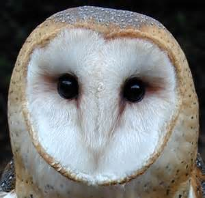 live barn owl at sulphur creek nature center the
