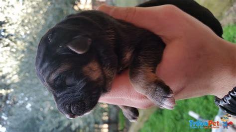 allevamento casa fey cuccioli pastore tedesco in vendita a civitanova marche mc