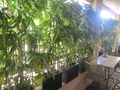 bamboo trees for backyard bamboo landscape google search southern california