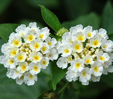 Tanaman Bunga Lantana Merah tanaman hias manfaat bunga lantana yang belum banyak