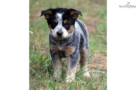 australian heeler puppy australian cattle blue heeler puppies