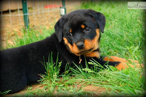 rottweiler puppies for sale in harrisburg pa rottweiler puppy for sale near harrisburg pennsylvania 0d99e8a2 7bf1