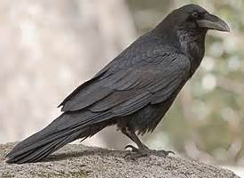What Does A Tree Symbolize common raven identification all about birds cornell