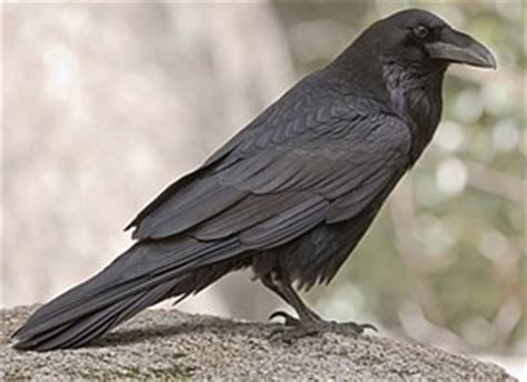 common raven identification all about birds cornell