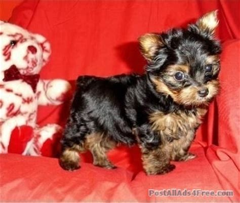 teacup yorkie nashville tn 1000 ideas about puppy for adoption on dogs pets and adopt a
