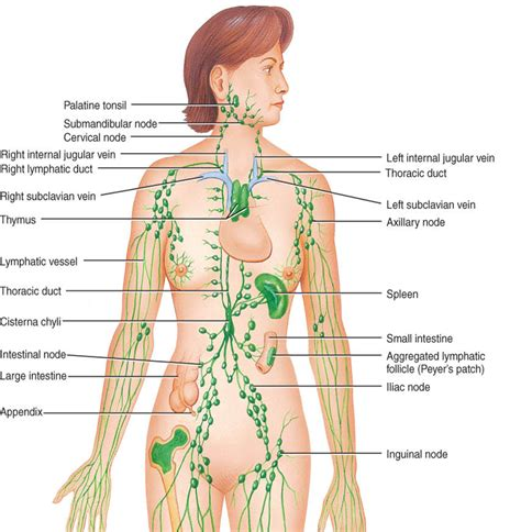 What Does Lymphatic Detox by Lymphatic System