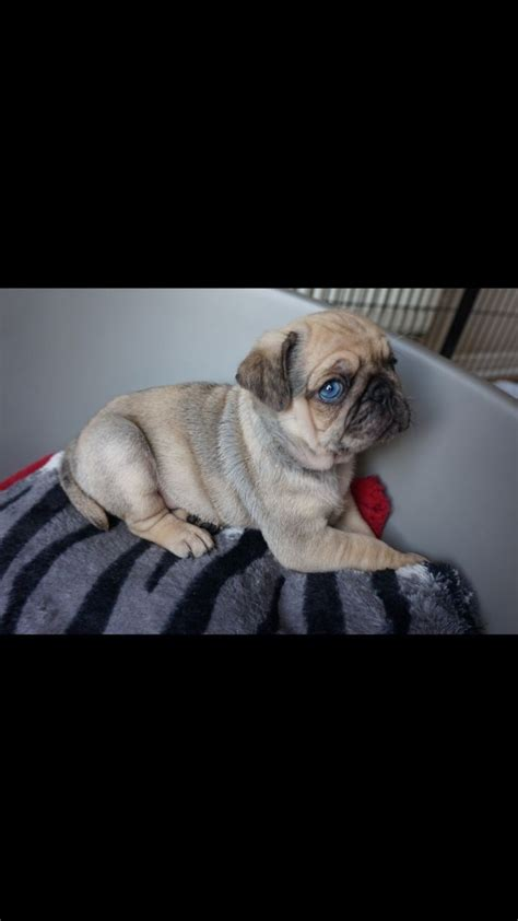 blue merle pug for sale blue eyed merle pug carrying at gateshead tyne and wear pets4homes
