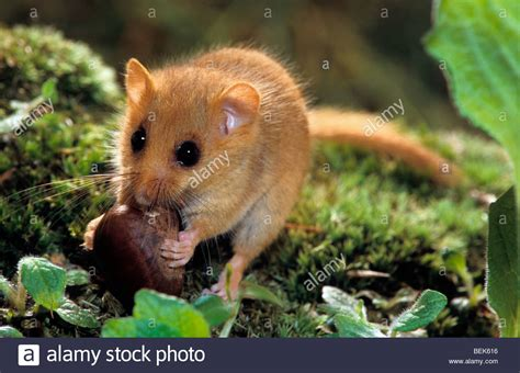 common dormouse hazel dormouse muscardinus avellanarius
