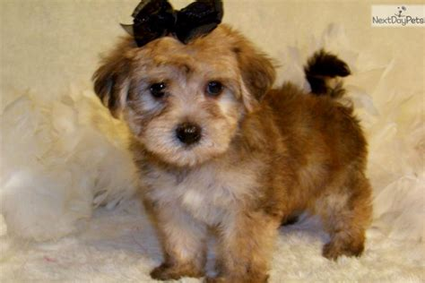 yorkie poo info puppy names for a boy puppies puppy