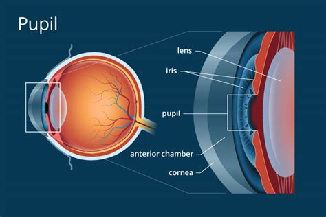 what part of the eye gives it color pupil definition and detailed illustration