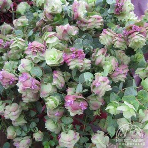 draping plants plant profile for origanum kent beauty ornamental