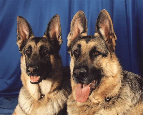 german dogs german shepherd alsatianjpg breeds picture