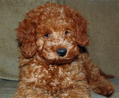 mini doodle wiki grooming a mini goldendoodle wavy hair search results