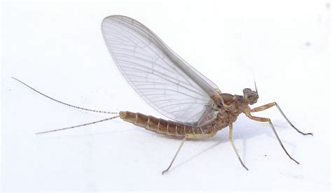 Backyard Fly by Insects In Your Yard Mayflies Welcome Wildlife