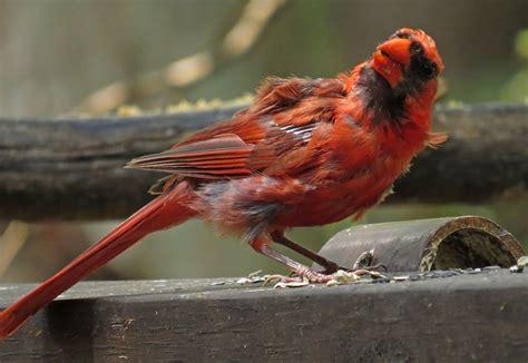 i m molting i m molting backyard bird nerd