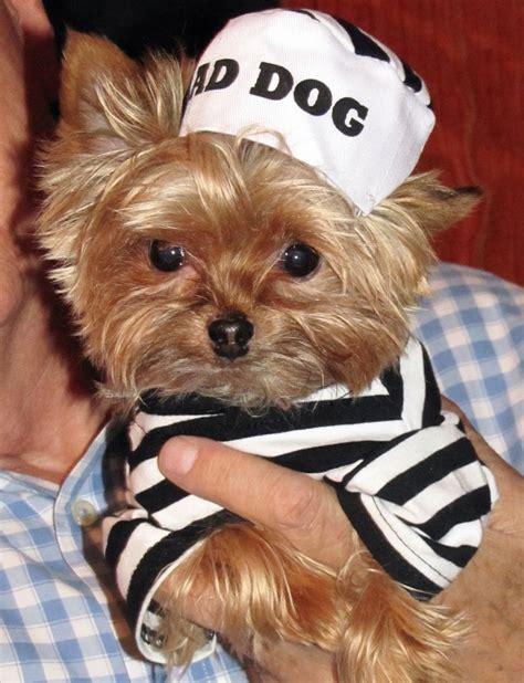 costumes for yorkies jailbird yorkie costume hair dogs