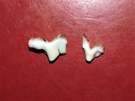 puppy tooth fell out puppy teeth flickr photo