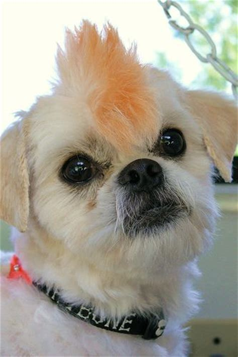 shih tzu bad haircut 105 best images about shih tzu hair cuts on hair dos puppys and sweet