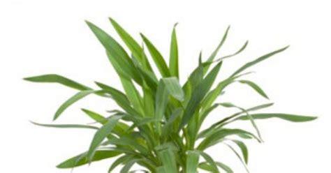 Yuka Plante D Intérieur by Yuka Entretien Cool Est Devenue Une Vedette De Fait