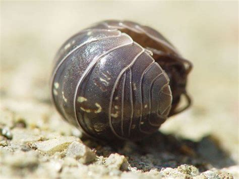 how to get rid of woodlice in my bathroom should you get rid of woodlice pill bugs dengarden