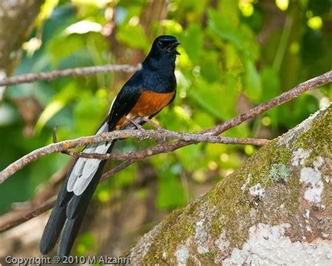 gambar burung murai medan ciri ciri dan gambar burung murai batu medan yang indah