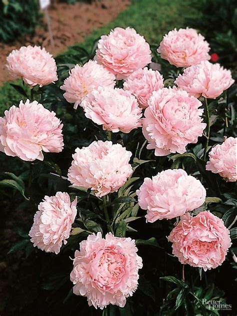 peony the best varieties for your garden books 199 best images about gardening on raised beds