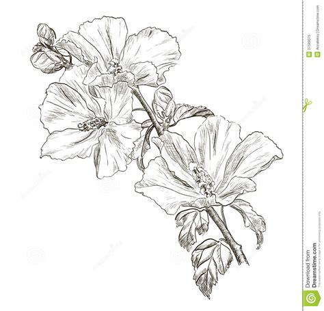 hand drawing hibiscus flower stock vector image 37589075