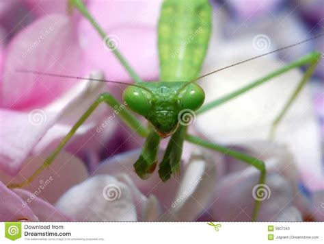17 praying with roses praying pink flower praying mantis