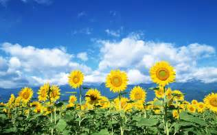 Sunflowers will clean up radiation leaked from power plant cali