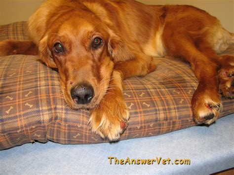 blastomycosis in dogs blastomycosis in dogs and cats including images diagnosis and treatment