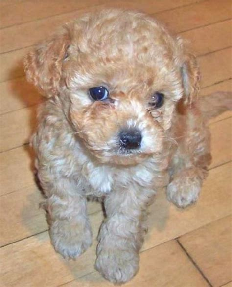 shih tzu poodle mix cost poodle shih tzu mix puppy jpg