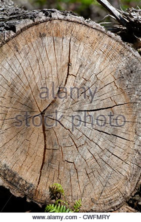 Cutting A Tree In Sections by Cross Section Of A Cut Tree Showing Heavily Weathered Growth Rings Stock Photo Royalty Free