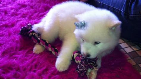 puppy princess a white and woolly coated alaskan malamute puppy princess