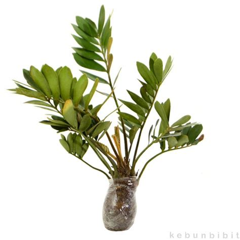 Kebunbibit Tanaman Hias Daun Ruscus jual tanaman hias daun zamia kebunbibit