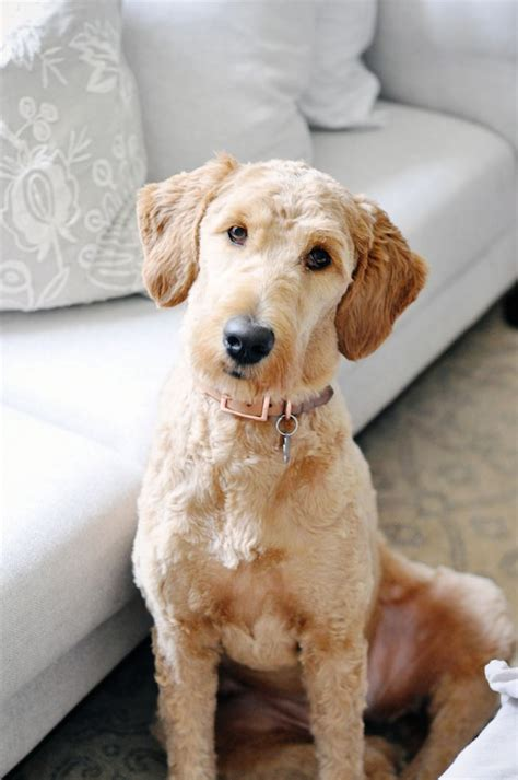 25 Best Ideas About Goldendoodle Haircuts On